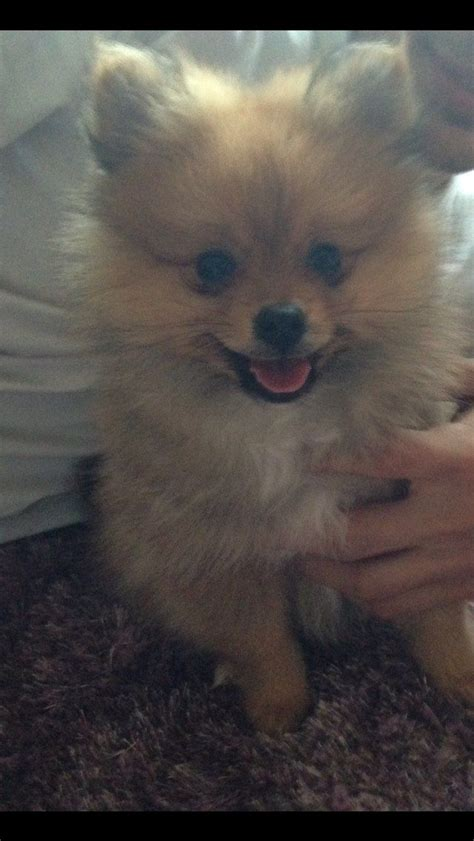 pomeranian breeders south west 10 week pomeranian south west pets4homes