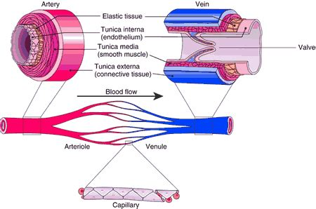 veins and arteries diagram toby mike biology