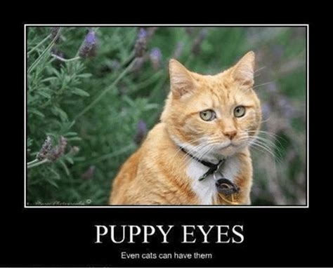 Puppy Dog Eyes Meme - puppy eyes even cats can have them cats meme on me me