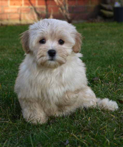 havanese puppy behavior problems gold colored pictures of havanese dogs pictures to pin on pinsdaddy