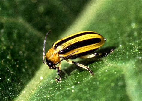 yellow black beetle garden pest crop beetles cucumber beetle flea beetles and other