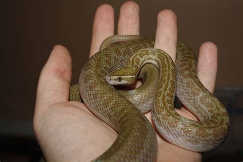African House Snake Boaedon Sp Herphousemag