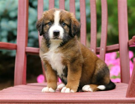 bernard puppies for sale in pa bernese mt st bernard mix pups craigspets
