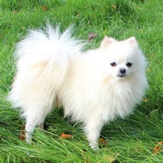 white teddy pomeranian stunning white teddy pomeranian litle pups