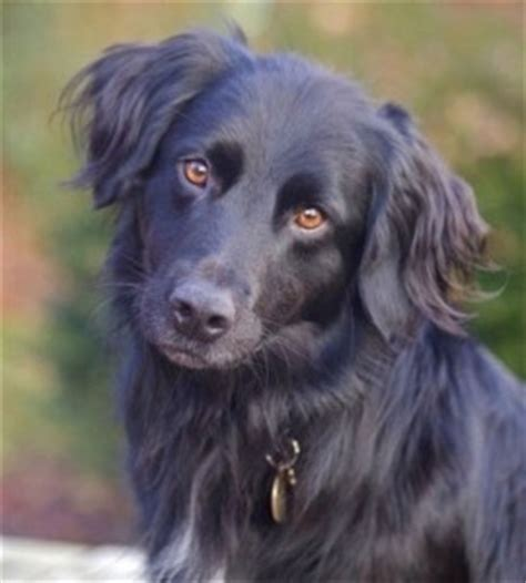 crossbreed dogs breed health a guide to genetic health issues for breeds