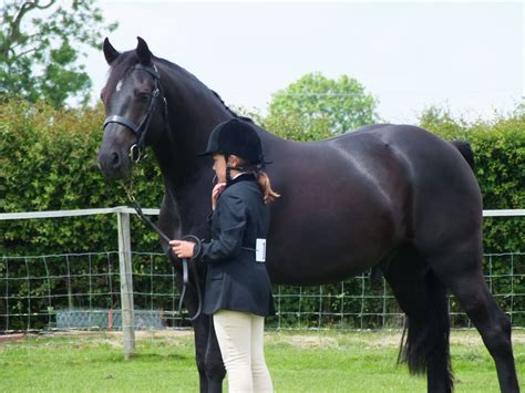 welsh section d foals for sale 15 2hh reg black welsh sec d northton