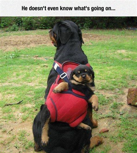 rottweiler pictures with rottweiler pictures quotes quotesgram