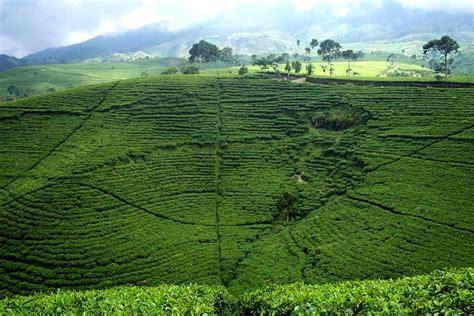 Teh Hijau Kemuning kebun teh kemuning di ngargoyoso karanganyar wisata