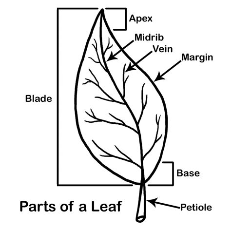 coloring page parts of a leaf plant clipart labeled pencil and in color plant clipart
