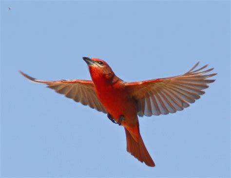Baby Bedroom Ideas summer tanager flying