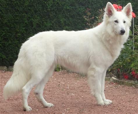 prix le berger accueil elevage du domaine charl 233 sien eleveur de chiens berger blanc suisse
