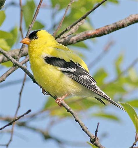 washington state bird the gold finch wa state pinterest