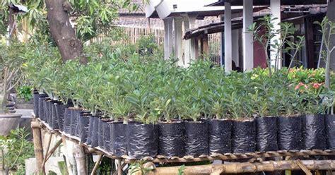 Pohon Jahe Merah cara menanam jahe merah dalam polybag paling mudah dan hemat tempat kumpulan tutorial cara