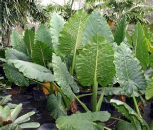 budidaya tanaman sente pakan alami induk gurame