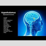 Hypothalamus   480 x 360 jpeg 15kB