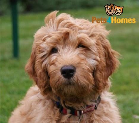 mini doodles hereford miniature labradoodle puppies ready now hereford
