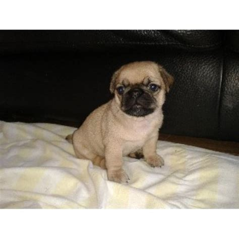 pug shitzu cross pug shih tzu cross pug puppy for sale in wigton cumbria ca7 3je
