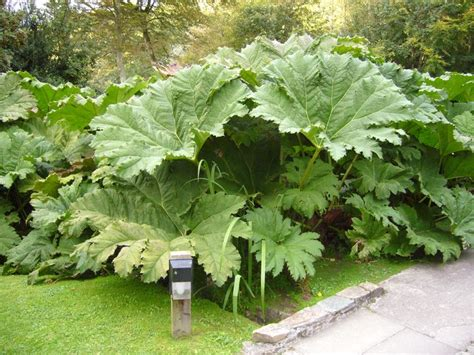 gunnera for low lying wet areas outdoor space pinterest