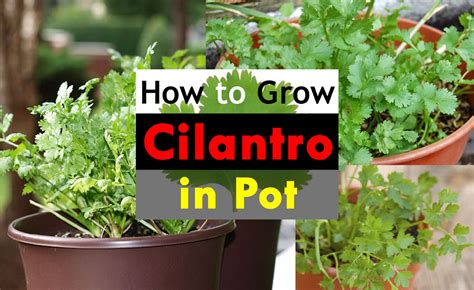 How To Grow Cilantro In A Pot   Growing Coriander In