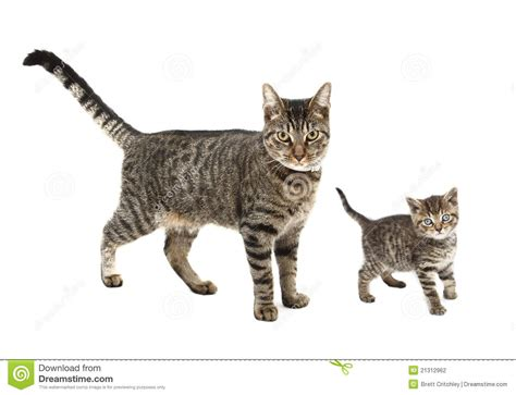 cat and images cat and kitten stock photo image of tabby pets background 21312962