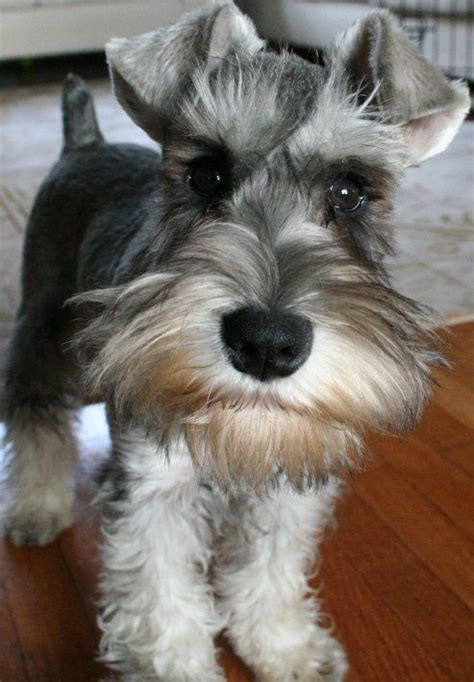 miniature schnauzer dog breed what the books didn t tell you about schnauzers