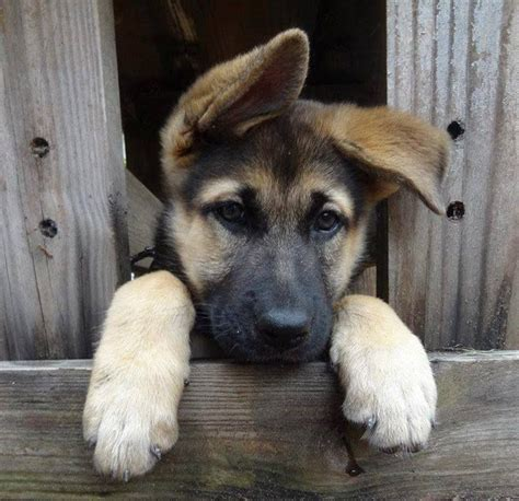 german shepherd ears 17 best images about german shepherd puppy part 2 closed