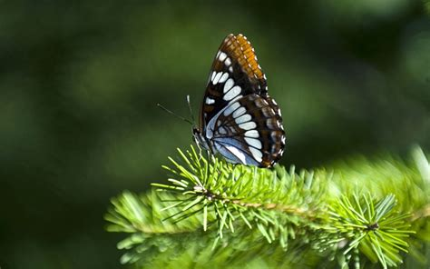 butterfly wallpaper for macbook 1280x800 butterfly pine leaves desktop pc and mac wallpaper