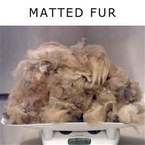 Matted Cat Fur Causes by Cat Hair Loss Its Causes And Treatment