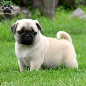 pug puppies for sale in maryland pug puppies for sale in pa