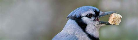 what do blue jays eat how to attract blue jays