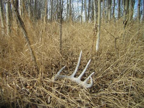 Whitetail Deer Sheds by Pin 19 Whitetail Deer Wallpaper 9 Free On