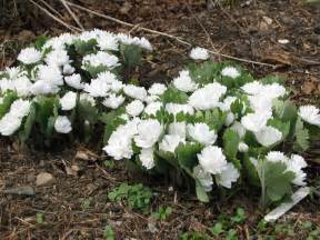 Plants That Flower At Night - bloodroot auntie dogma s garden spot