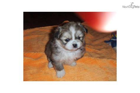 peekapom puppies peek a pom for sale for 400 near charleston south carolina 86354eff 1d81