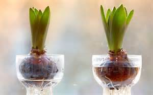 force amaryllis in a watertight shallow container fill the container