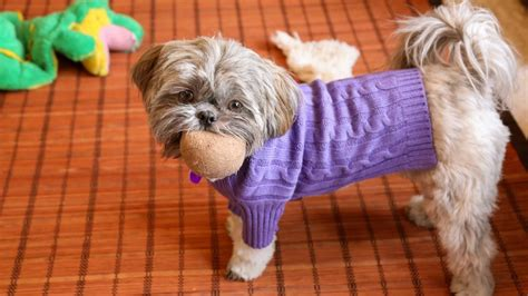 how dogs live how do shih tzu dogs live reference