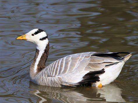 geese of the world zone wwt slimbridge