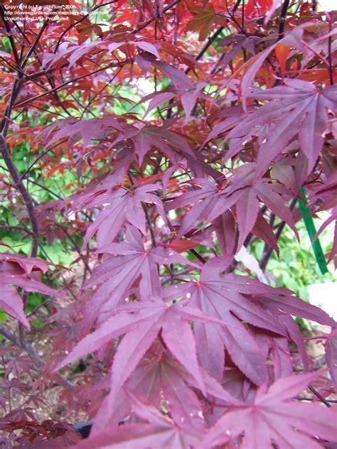 Outdoor & Garden Design: Mesmerizing Japanese Maple