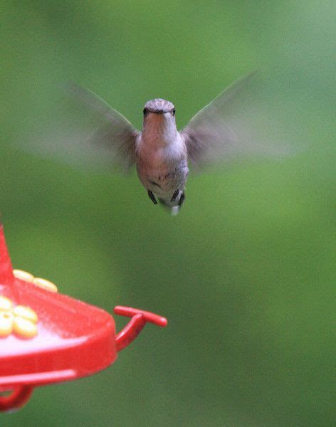 mating habits of hummingbirds 14 best hummingbirds images on humming birds hummingbird and hummingbirds