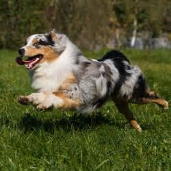 best dogs for running the 20 best breeds for runners outside