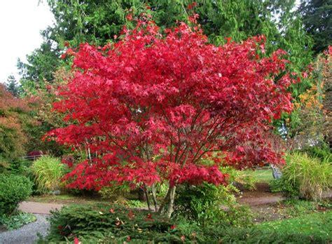 heraldnet com plant of merit boskoop glory japanese maple