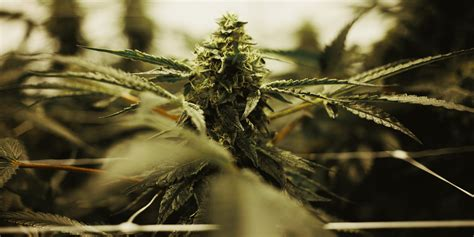 growing indoor  outdoor weed whats  difference herb
