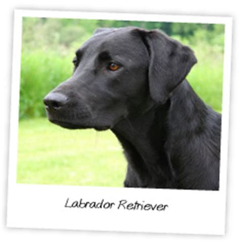 are there different types of golden retrievers are there different types of labrador retrievers breeds picture