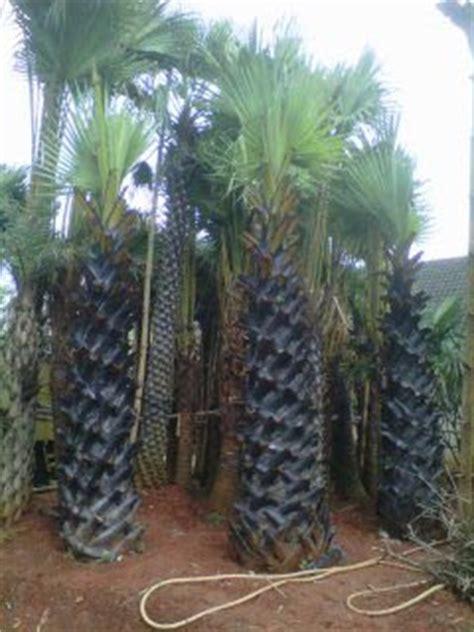 Jual Pohon Pule Antik Murah pohon lontar pohon siwalan murah arya flower