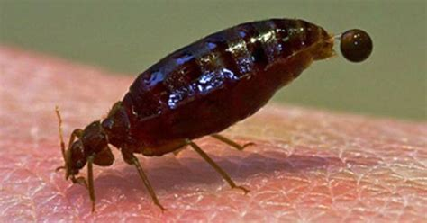 bed bugs alaska bed bug bites treatment url http spiderbites net bed