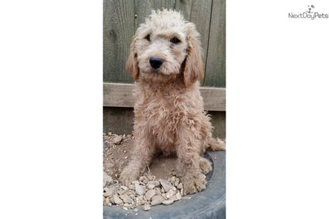 goldendoodle puppies for sale in tennessee boy goldendoodle puppy for sale near nashville