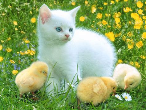 cute beautiful images for beautiful white cute cat pictures photos