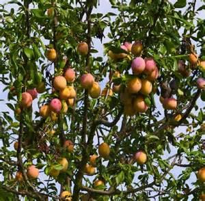 5 fruit tree plum tree multi variety fruit tree plum 5 varieties