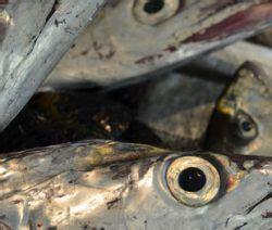 come cucinare pesce spatola ricette pesce come cucinare pesce cucinarepesce