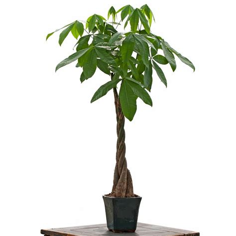 large braided money tree lucky bamboo house plants