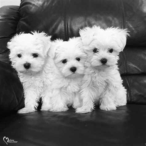maltese puppies indiana maltese puppies available now june 2016 187 maltese matchmaker